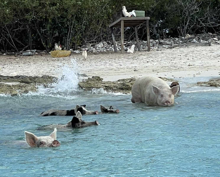 Swimming with pigs and snorkel Trip